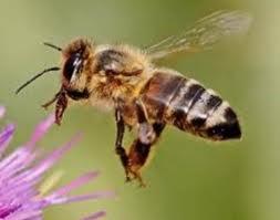 Keep the propolis to yourself, honey bee.